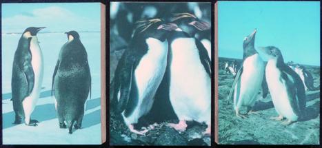 dera-cor-pinguins